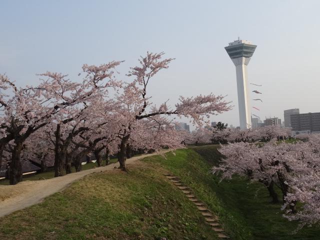 【函館 五稜郭の桜】
