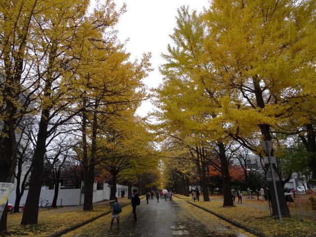 【北海道大学の銀杏並木】