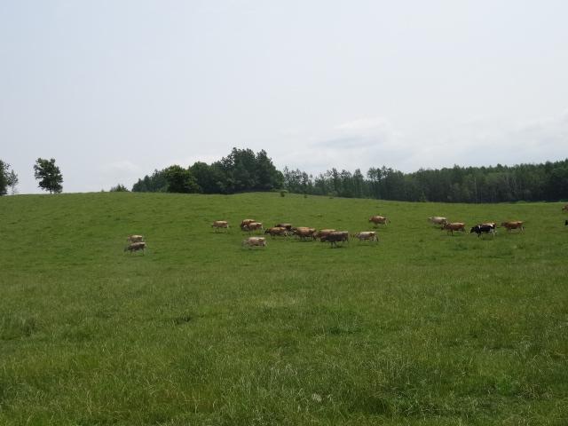 美瑛酪農放牧場