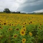 北海道でラベンダー畑とひまわり畑をめぐる旅【1泊2日】