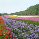 積丹・小樽・富良野・美瑛 夏の花畑をめぐる親子旅プラン